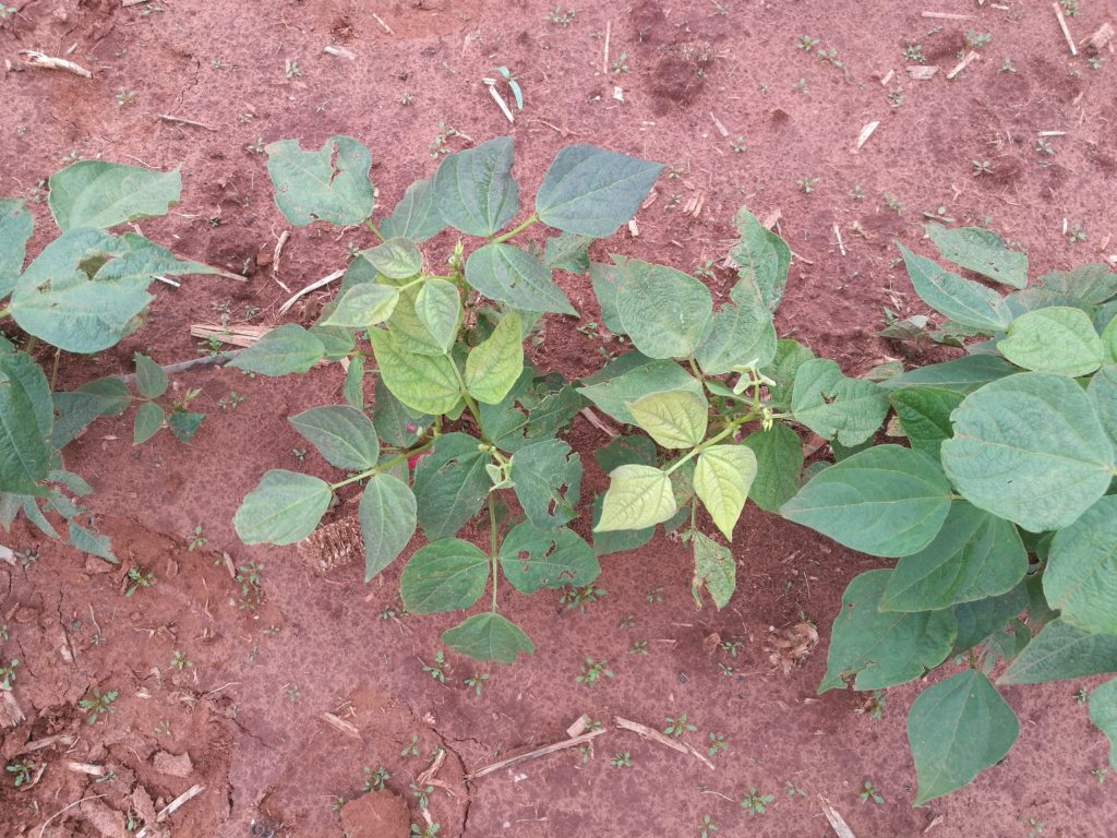 Dry beans exhibiting manganese-toxicity symptoms